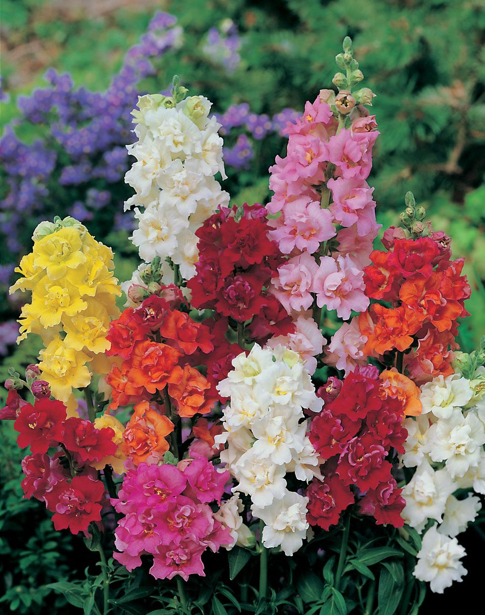Antirrhinum (Snapdragon) 'Madame Butterfly'. Sow Jan, Feb