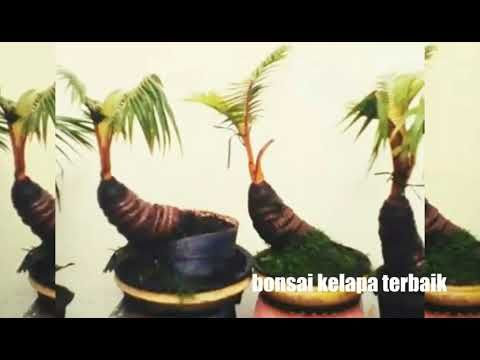 Bonsai Kelapa Terbaik Coco Bonsai Is The Best Youtube Bonsai
