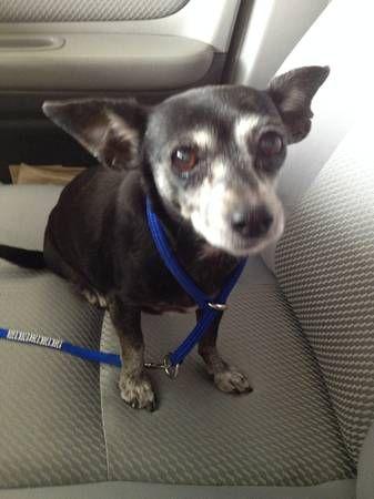Female Chihuahua Chiweenie Found Highland C Craigslist Map
