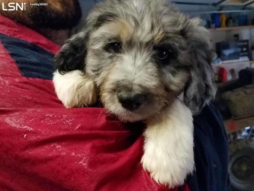 Aussiedoodles - $600 in Cookeville TN - LSN   Adorables
