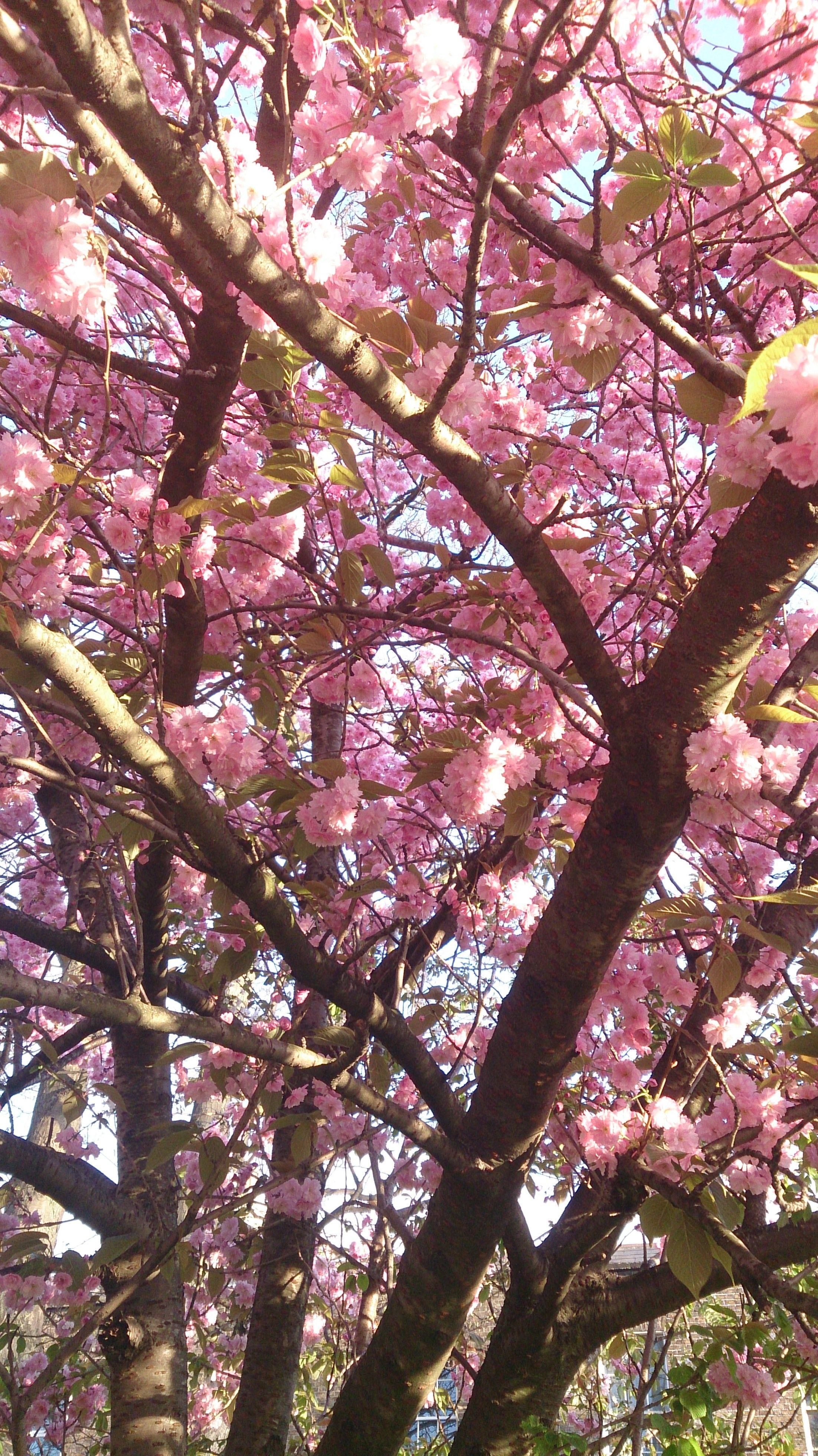 Cherry Blossom Tree Rathmines 19 04 14 Cherry Blossom Tree Blossom Trees Cherry Blossom