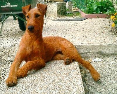 irish terrier - Google keresés