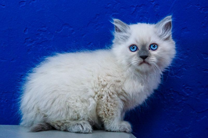 Ragdoll Kittens For Sale Orlando