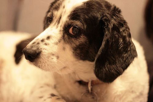 The Canine Papilloma Virus Cpv Causes Harmless Warts Called Viral