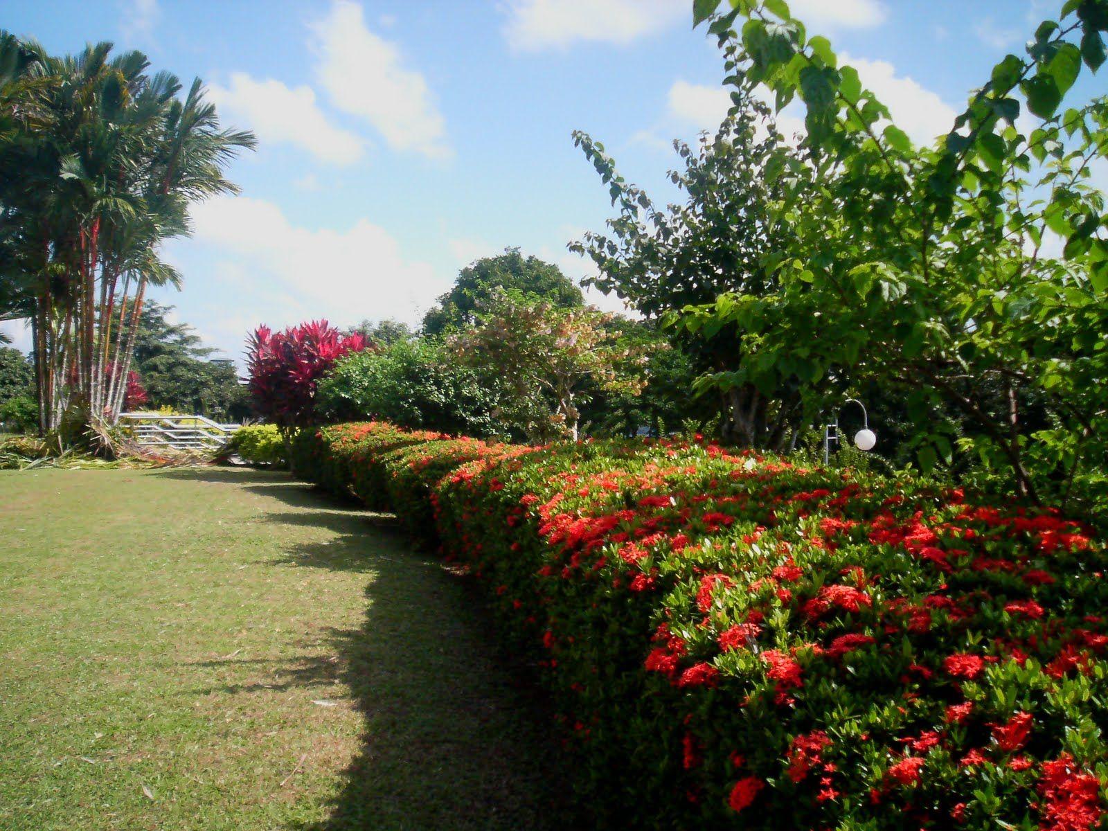 Amado Ixora - Ixora coccinea | Plants WR55