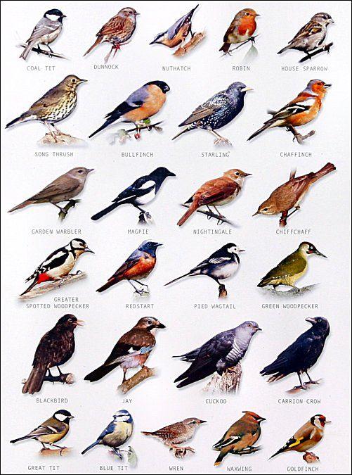 garden bird chart   Watch the birds