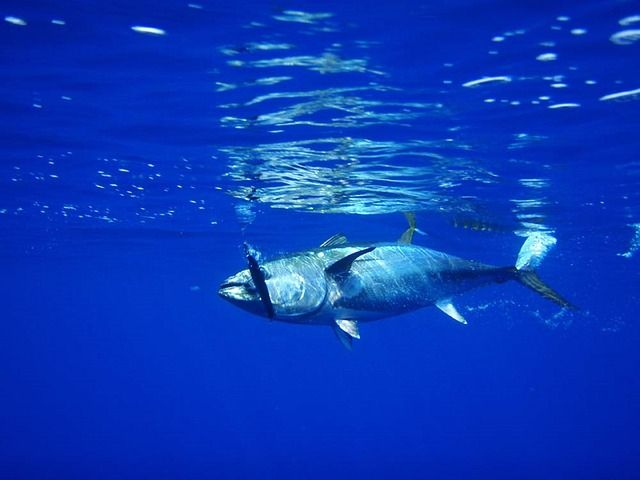 Tuna, Fish, Fishing, Seafood, Fresh, Water, Underwater