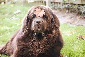 Newfoundland Mastiff Mix Dog