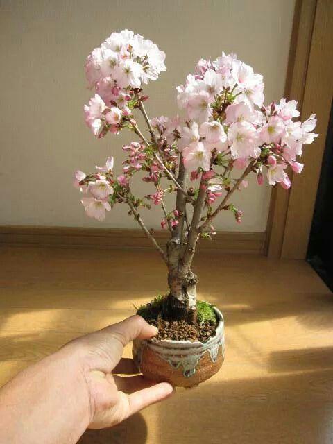 Japanese Cheery Bonsai Bonsai Cherry Tree Bonsai Bonsai Tree