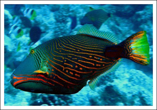 Orange Lined Triggerfish Saltwater Fish Tanks Marine Fish Marine Animals