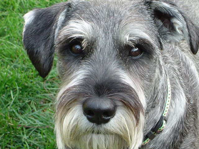 Salt And Pepper Standard Schnauzer This Dog Is A Dinsdale