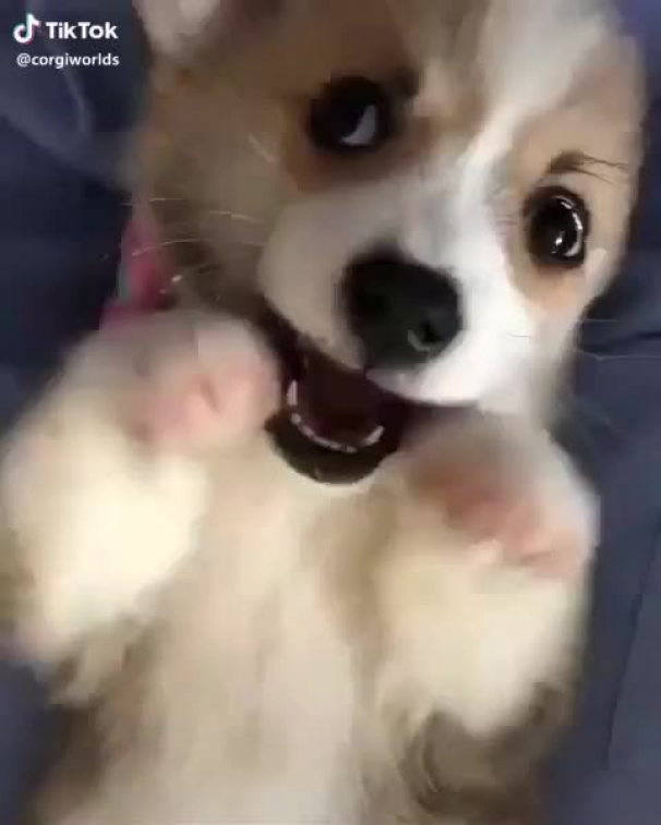 Cute Corgi Dog|Cute Corgi Dogs|Cute Corgis|Cute Dogs|Cute Doggies|Cuteness Overload|Cute Pets|Cute Corgi love|Cute Corgi lover|Cute Corgi lovers|Cute Corgi Doggies|Corgi lovers|Corgi community|Pembroke welsh corgi|Corgi Pictures|Obsessive Corgi Disorder|Corgi Funny| #corgilovers #corgicommunity #corgi #corgis #cutecorgi #cutecorgis #cutedogs #cutepets #cutepuppies #cutefunnyanimals #funnyanimals #cuteanimals #afflink #dogs #baby #dogs