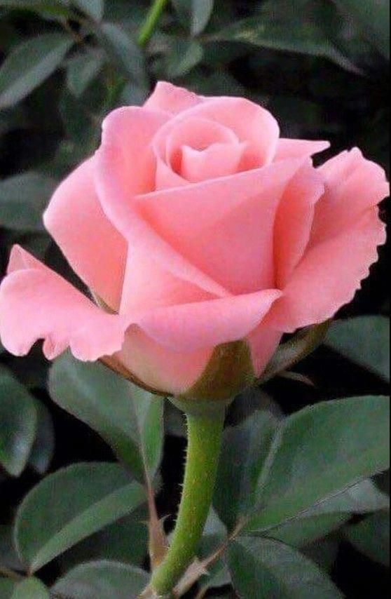 Pink Rose For Me Landscapedesignwithredroses Landscapedesignwithredroses Pink Rose Beautiful Rose Flowers Beautiful Roses Love Flowers