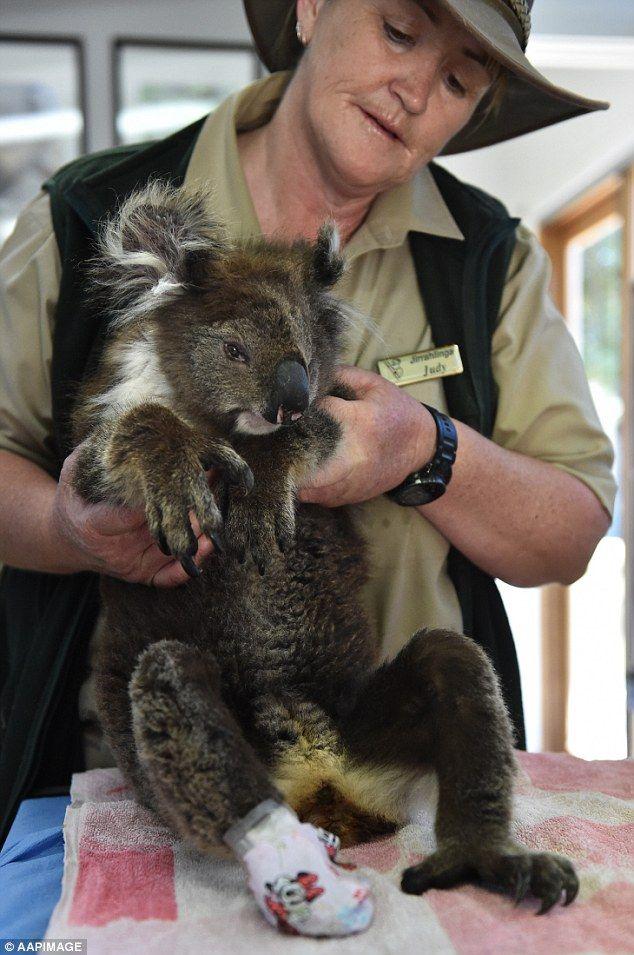 Koala rescued in bushfire nursed back to health