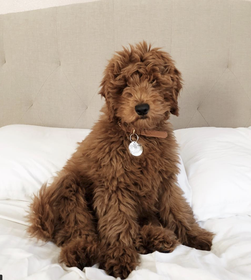 Copper Canyon Doodles Baby Boston In 2020 Goldendoodle Full Grown Goldendoodle Labradoodle Puppy