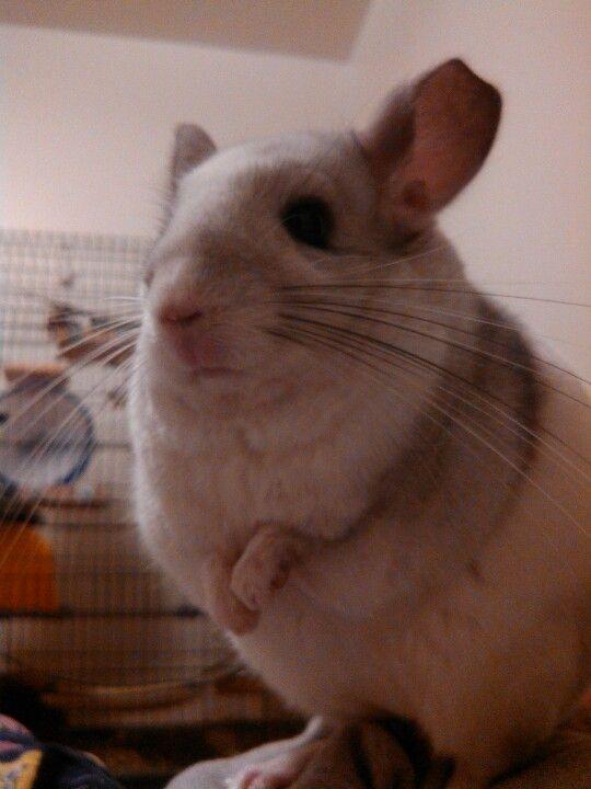 My Sweet Little Chinchilla Such A Cutie