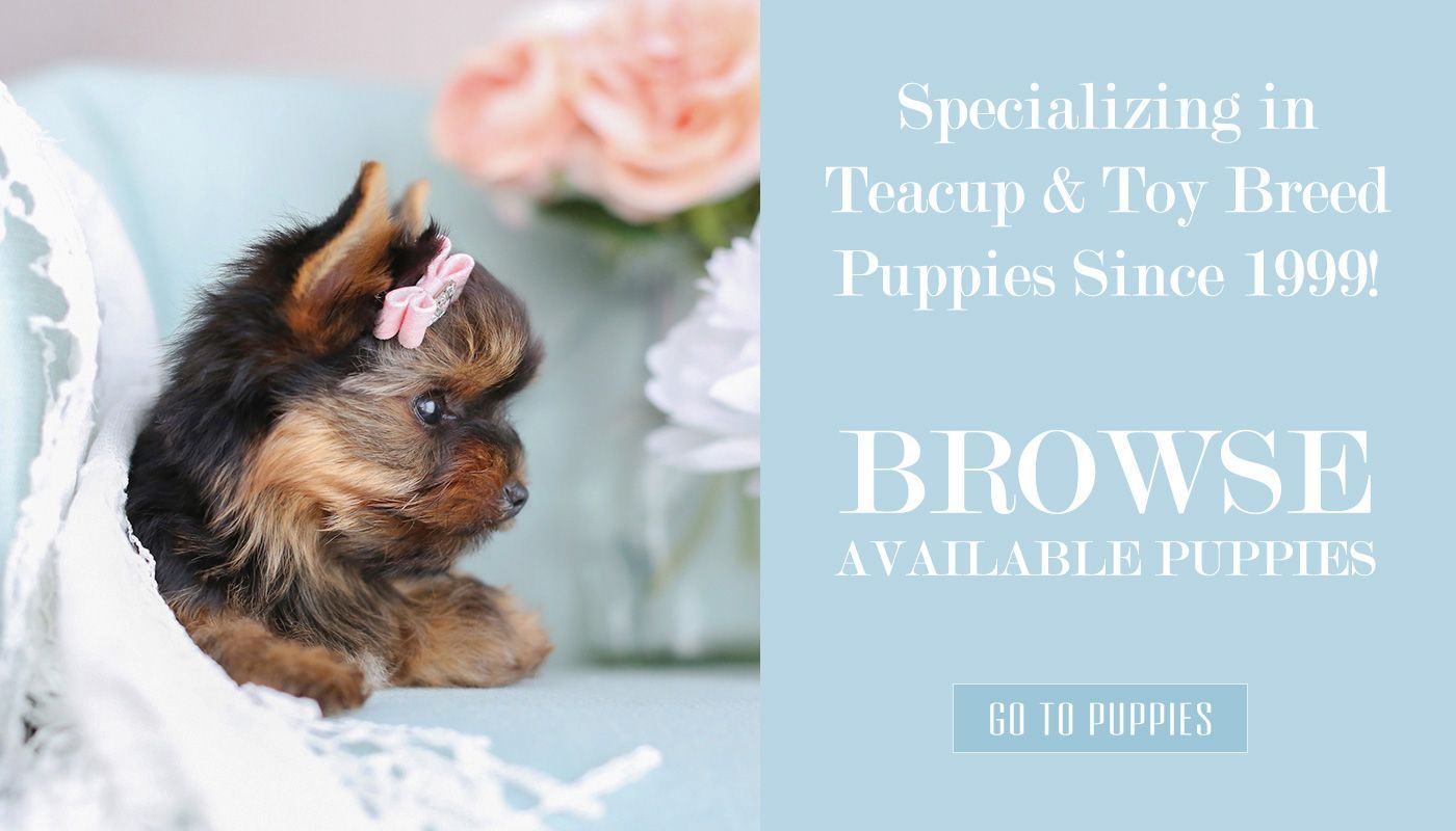teacup-puppies-for-sale-teacup-yorkie-breeder-puppy-boutique-florida #cuteteacuppuppies teacup-puppies-for-sale-teacup-yorkie-breeder-puppy-boutique-florida #cuteteacuppuppies