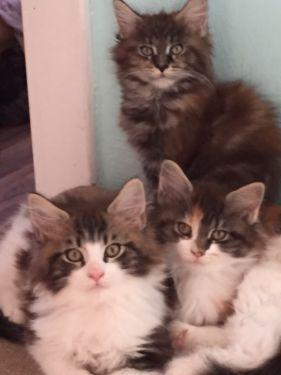 Lenny Laura Und Liara Katzenbabys Katzenbabys Kaufen Katzen