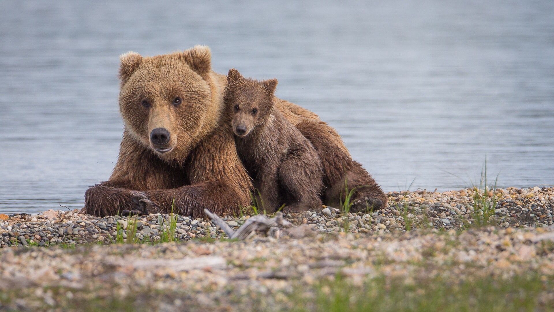 Mother Grizzly and cub. Katmai, Alaska
