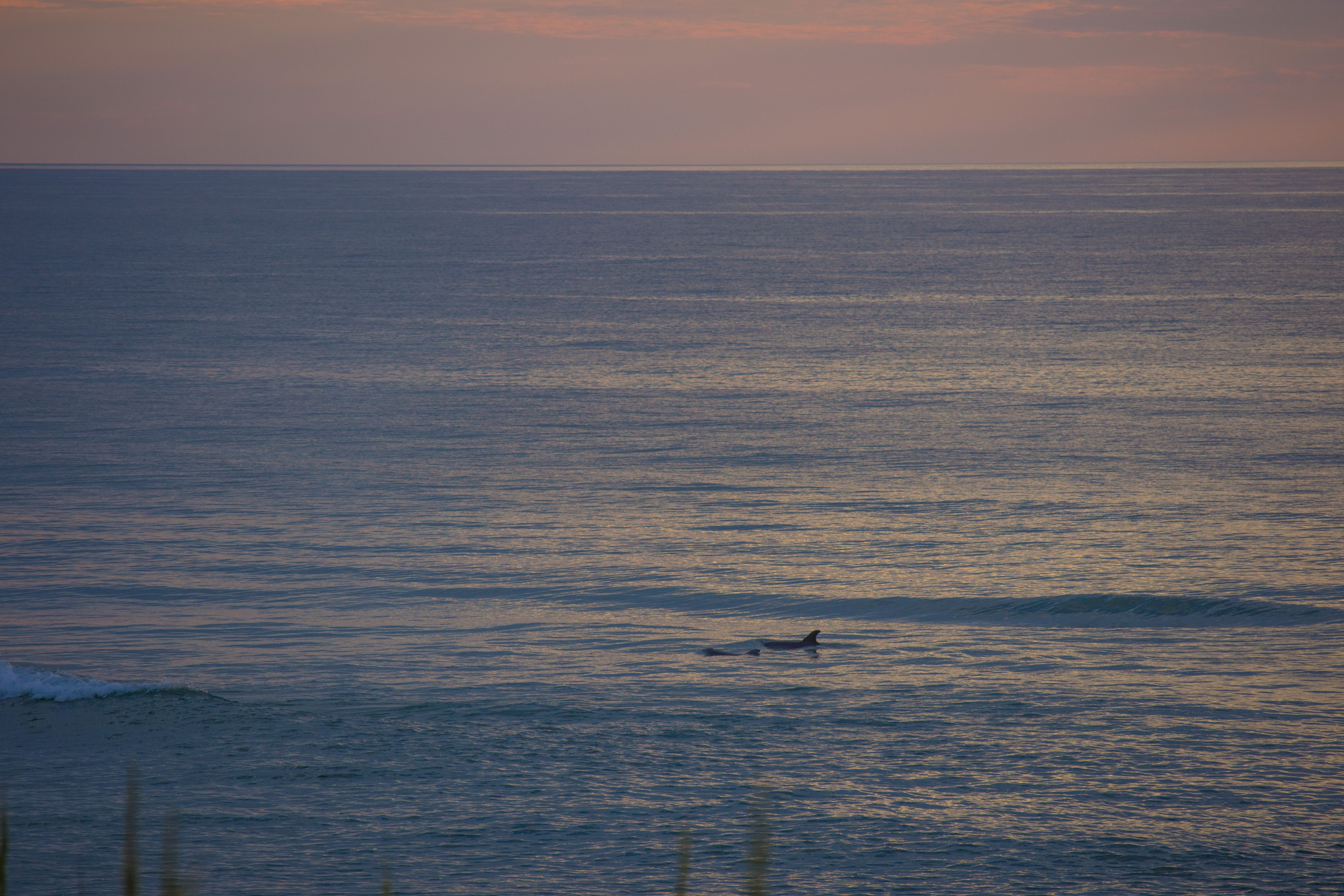 Kill devil hills dolphins at sunrise outer banks photo