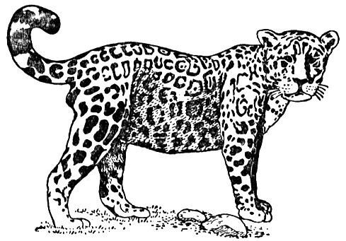 Jaguar Coloring Pages For Kids Jaguar Colouring Pages For Kids