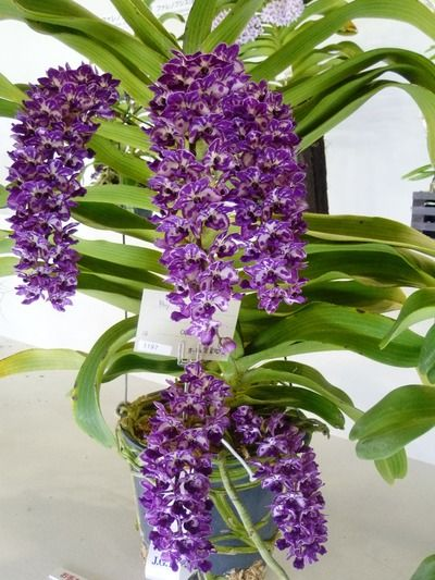 orchid rhynchostylis gigantea species from southeast. Black Bedroom Furniture Sets. Home Design Ideas