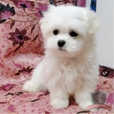Omfg Looks Exactly Like My Old Dog Like Exactly Maltese Puppy Puppies Teacup Puppies Maltese