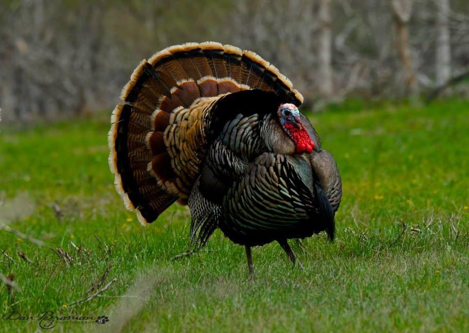 Turkey Hunting Turkey
