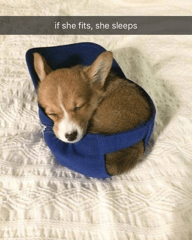 ... pembroke welsh corgi.  cutepuppypng Small Cute Puppies 6d20e2cb0967