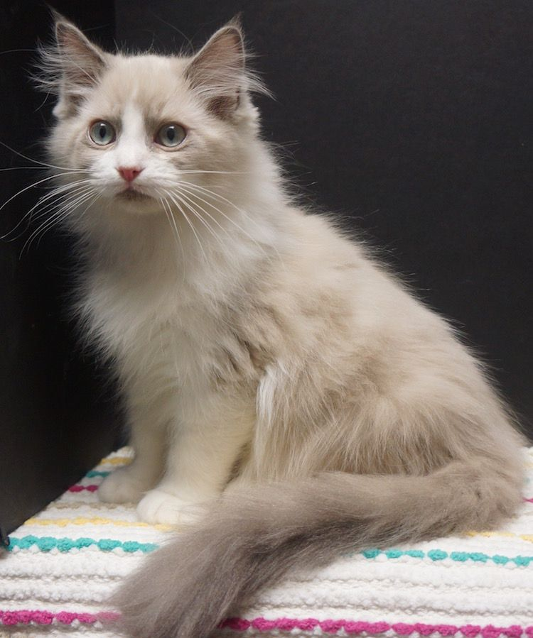Dallas Ragdoll Breeder Ragdoll Kittens For Sale Ragdoll Kitten Kittens