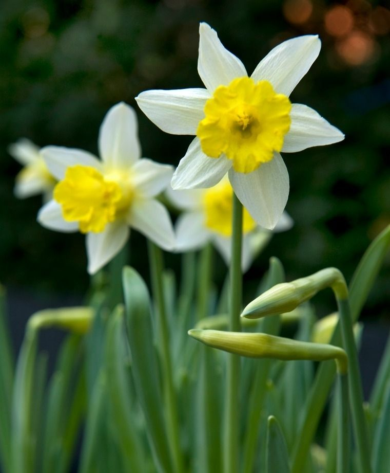Narcissus Topolino Dainty Topolino Meaning Little Mouse In Italian Is Sturdy Beautiful And Deliciously Fragrant Thi Bulb Flowers Daffodils Narcissus Flower