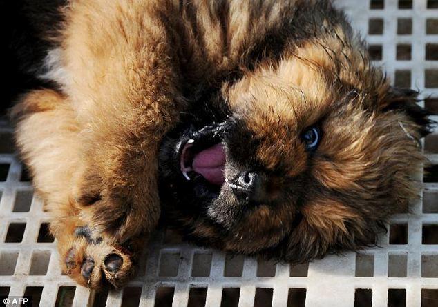 Tibetan Mastiff Puppy Sells For Record Breaking 1 2m In China