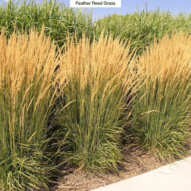 Feather reed grass calamagrostis x acutifolia karl for Small ornamental grasses for sun