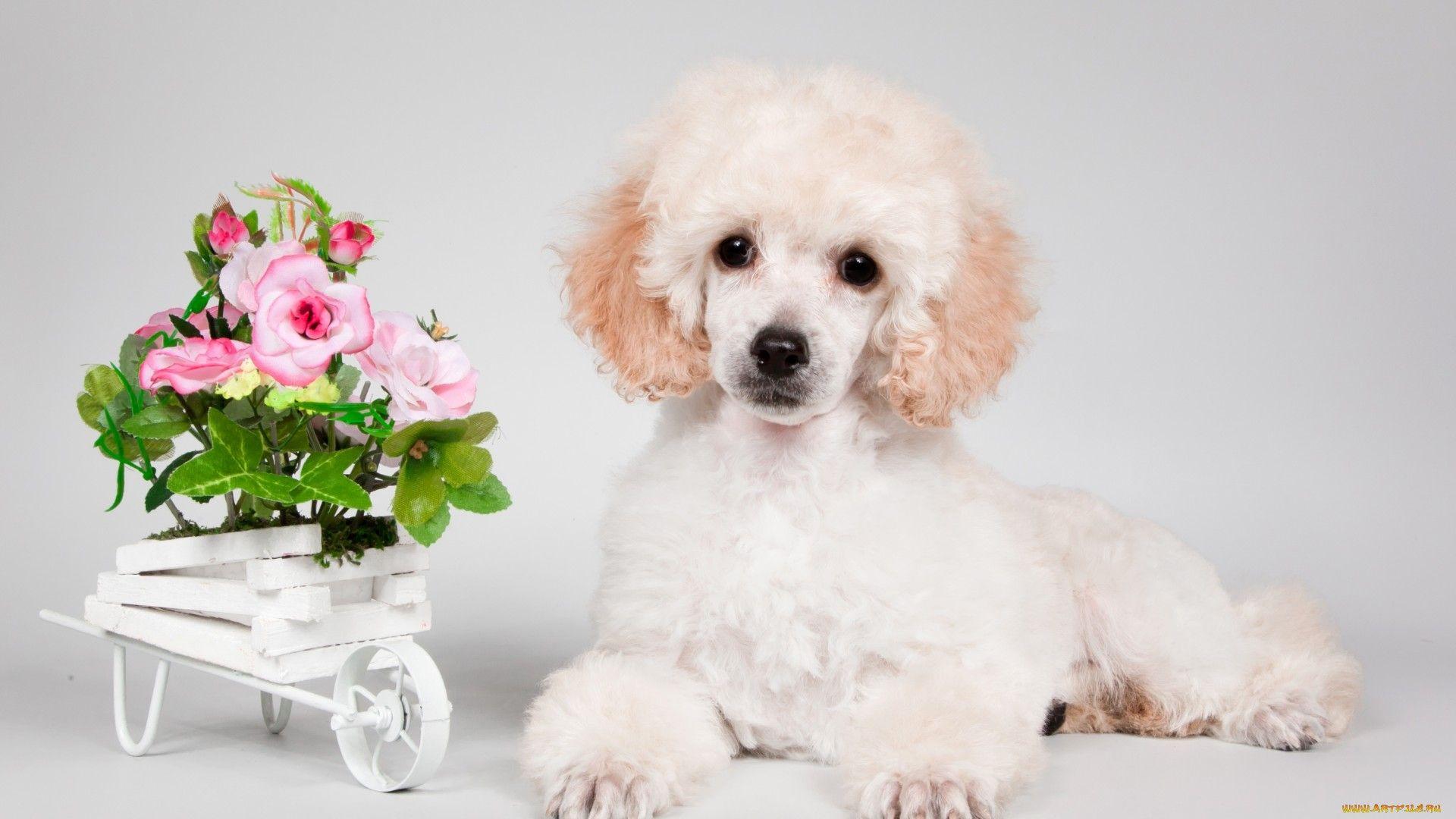 Картинки собачка пудель