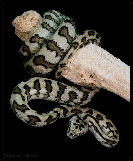 Dog Biting Rugs: Jaguar Carpets Python And Albino Carpets