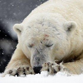 Sleeping Giant Polar Bear Bear Pictures Polar