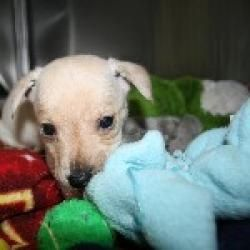 Ginn Is An Adoptable Terrier Dog In San Rafael Ca One Of Several Adorable Babies In The Forty Niner Puppy Litter Sc Puppy Litter Cute Animals Terrier Dogs