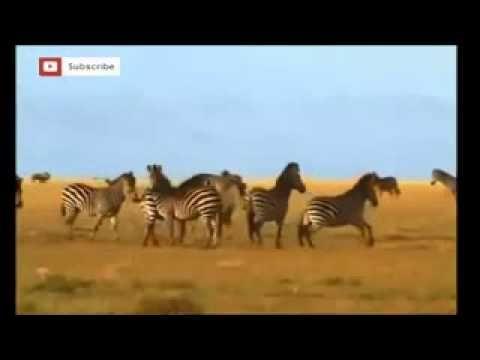 ZEBRA VS  HYENAS        HD   YouTube~1 - http://showatchall.com/animal/zebra-vs-hyenas-hd-youtube1/