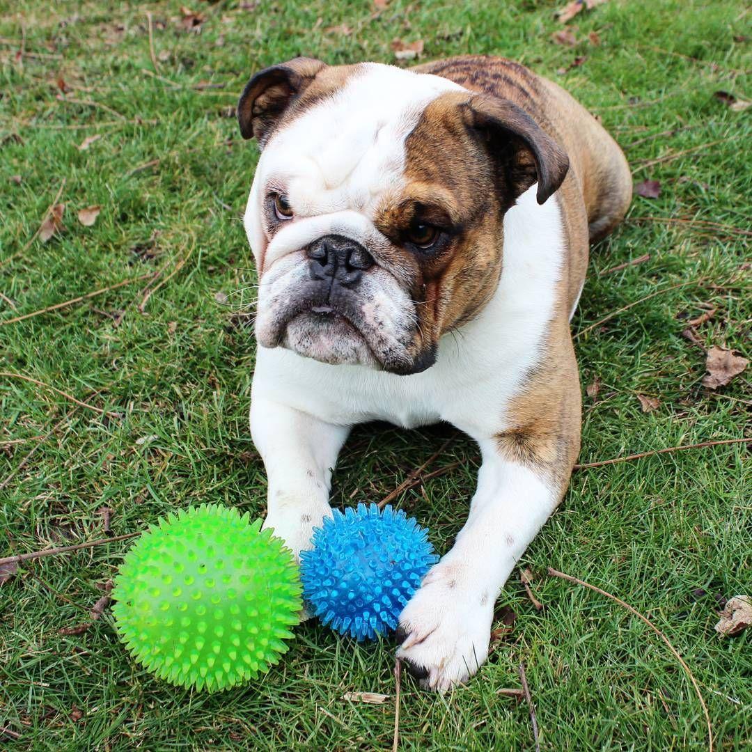English Bulldog With His Squeaky Balls Bulldog Puppies Bulldog