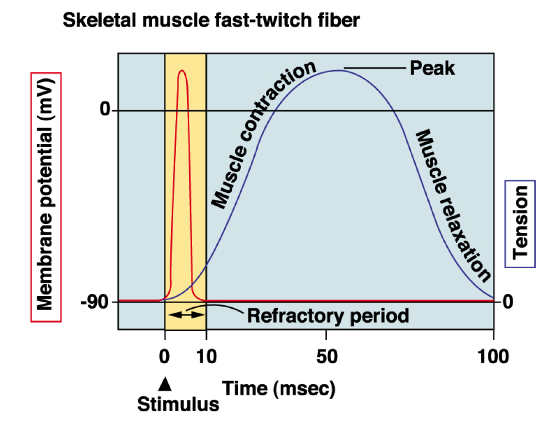 Cardiac action potential refractory period google search cardiac action potential refractory period google search ccuart Image collections