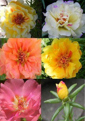 Heirloom 2000 Seeds Portulaca sun Purslane Moss Rose Pigweed Mixed Garden Flower Bulk Seeds B0115b0115