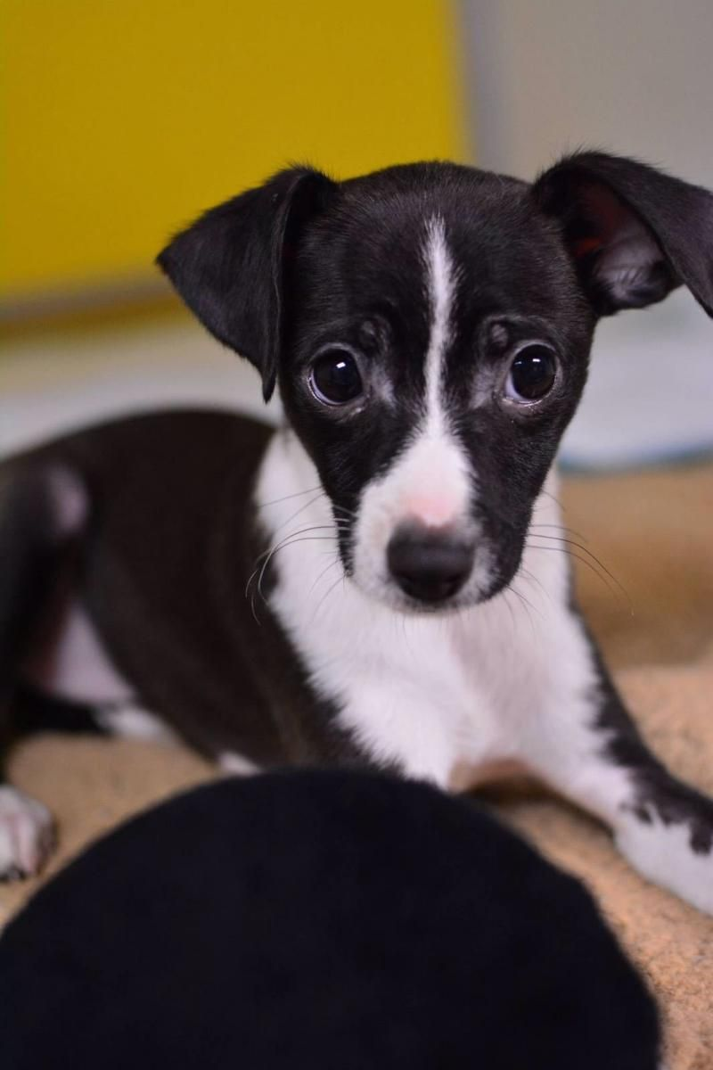 Adopt Lucy on Pets, Chihuahua, Chihuahua mix