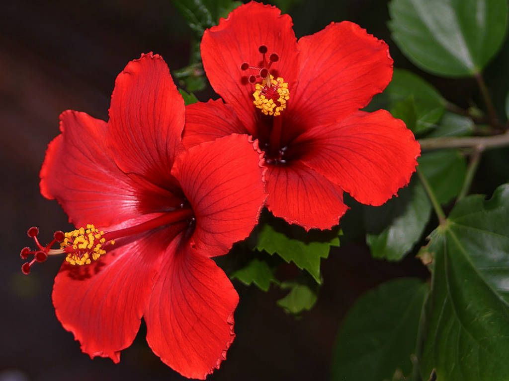 Image result for Chinese Hibiscus