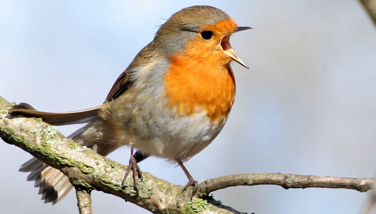 bestimmen sie deutschlands singv gel mit vogelstimmen alle v glein sind schon da birds. Black Bedroom Furniture Sets. Home Design Ideas