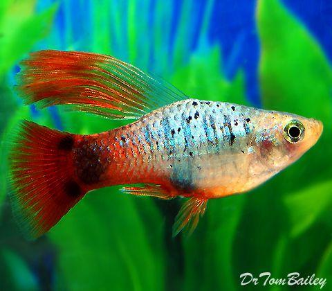Aquarium Fish For Sale Guppi Akvariumnaya Rybka Akvarium