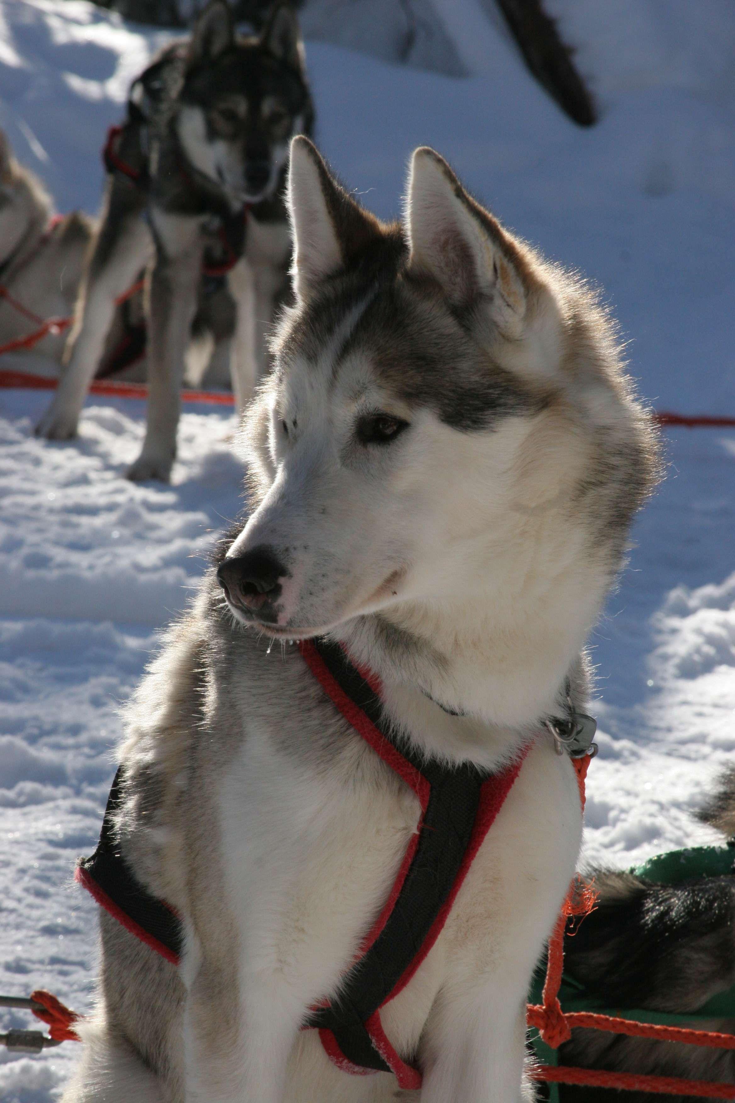 Chien à traineau Laponie Finlande Laponie finlande