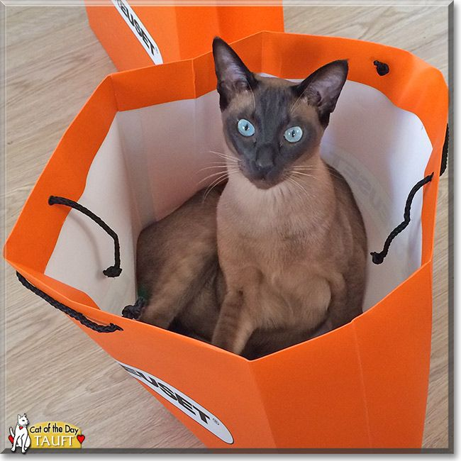 Tauft Tonkinese Cat March 12 2015 Tonkinese Cat Cat Day Tonkinese