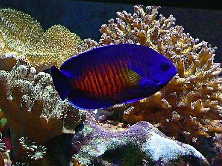 אנג ל קורל ביוטי Coral Beauty Angel אנג לים ננסיים קיסרונים Angelfish Dwarf דגי מים מלוחים נטפיש Fish Aquarium Fish Tank Angel Fish