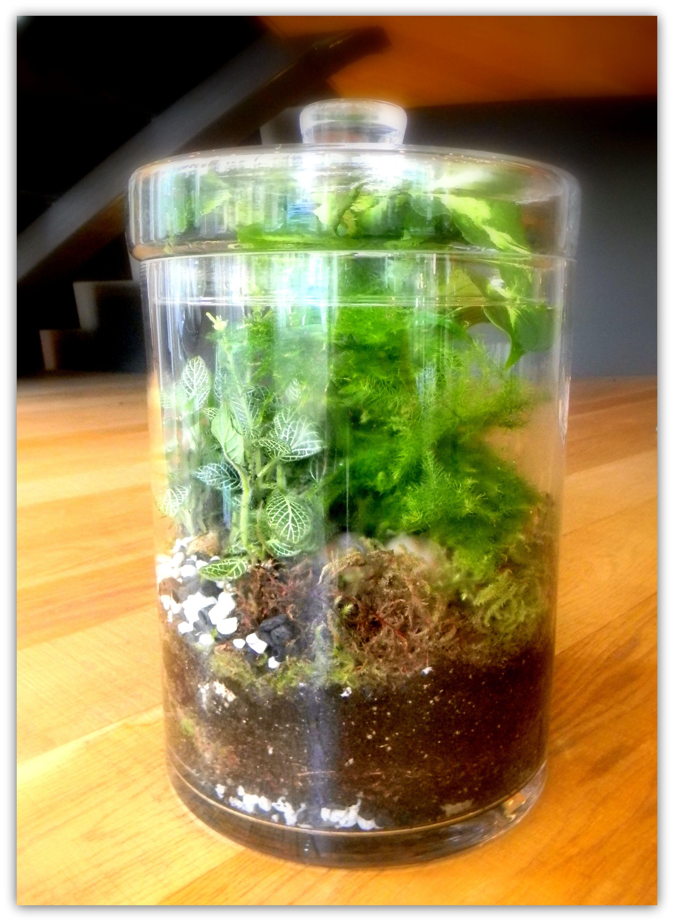 Cookie Jar Asparagus Fern Diefenbachia Terrariums Asparagus