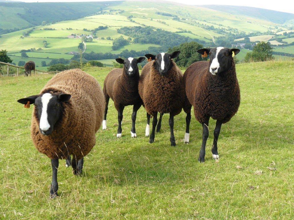 Zwartbles sheep C U T E! Pinterest Goats, Animal and